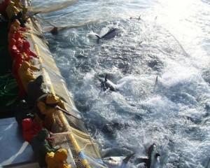 Pesca tonno rosso - Repubblica.it