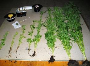 Le piantine di droga sequestrate nell'abitazione di Grosso