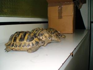Gli esemplari di tartaruga di terra