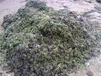 alghe-siponto
