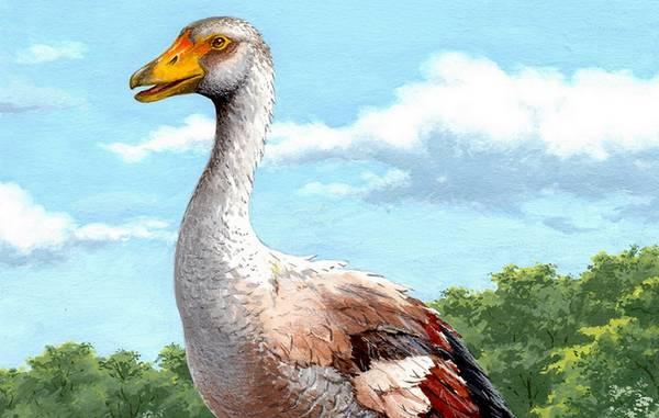 Ricostruzione artistica dell'oca gigante Garganornis ballmanni (fonte: Stefano Maugeri)
