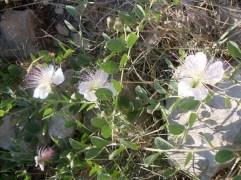 Boccioli di capperi in fiore
