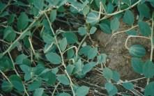 Grossi capperi prima della fioritura detti in loco-i cucuzzille-Varietà Capperis Spinosa aculeata