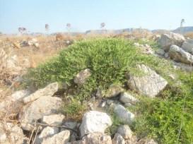 Piante di capperi in zona Palazzetto dello Sport-Manfredonia