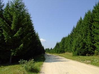Kroz četinarske drvorede