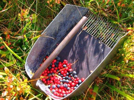 Berač borovnica i drogih sitnih plodova