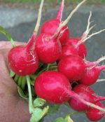 Radish - Early Scarlet Globe - St. Clare Heirloom Seeds