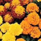 Boy O Boy Mix Marigold - St. Clare Heirloom Seeds