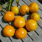 Tomato, Orange and Yellow - Golden Jubilee - St. Clare Heirloom Seeds