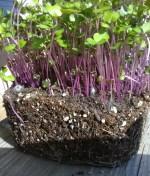 Kohlrabi, Purple Microgreen Seeds - St. Clare Heirloom Seeds