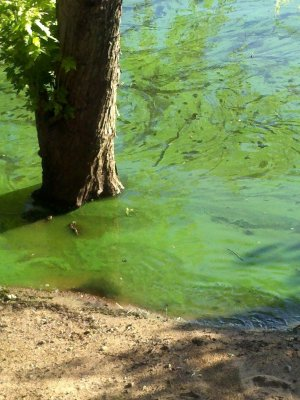 St. Mary's Point algae bloom on the St. Croix River