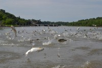 Silver carp leaping out of the water