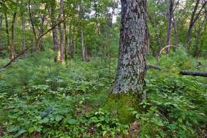 Buckthorn-free forest