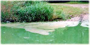 Blue green algae bloom