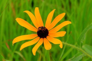 """1st Place, Youth - AJ Wall """"Bee on Black Eyed Susan"""""""
