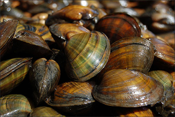 Higgins eye mussel (USFWS photo)