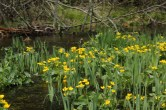 Finally able to photograph the plentiful marsh marigolds.