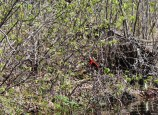 Scarlet tanager aglow