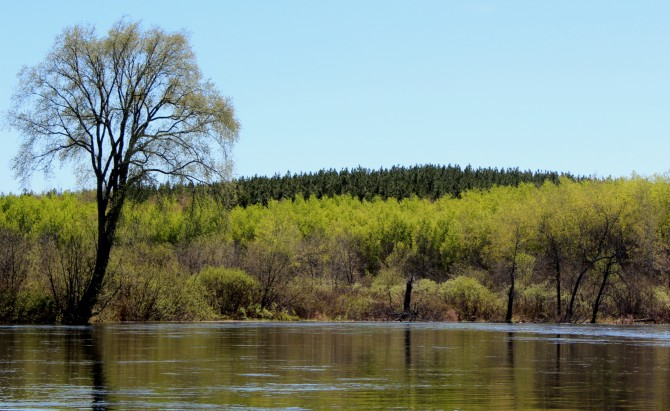 Pine plantation on the Namekagon River