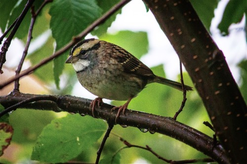 White-throated Sparrow in the Rain, by Kelly Nechuta, Hayward, WI.