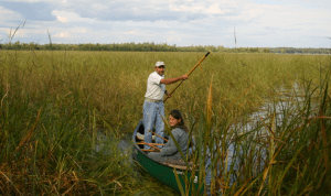 Wild rice harvesting in northwest Wisconsin. (John Haack)