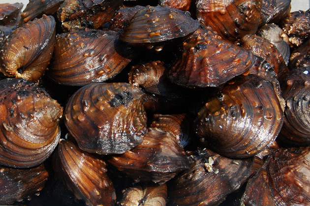 Winged mapleleaf mussels from the St. Croix River