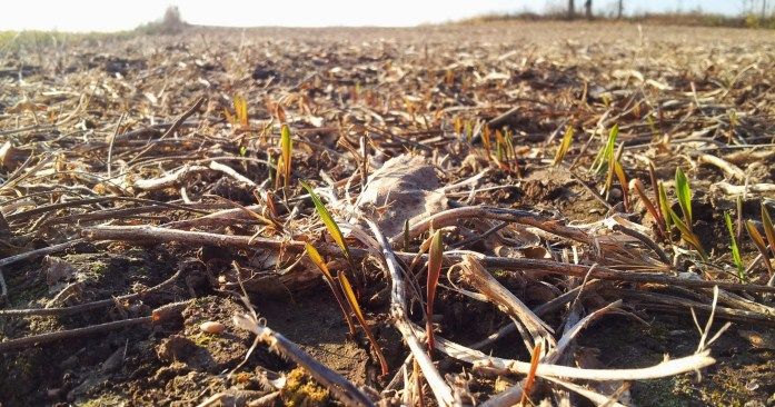 Winter rye poking up on Brad Johnson's farm.