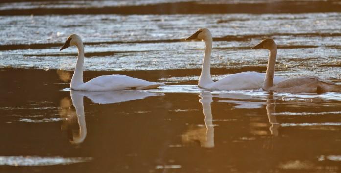 Swan music, warm breath, cold air...