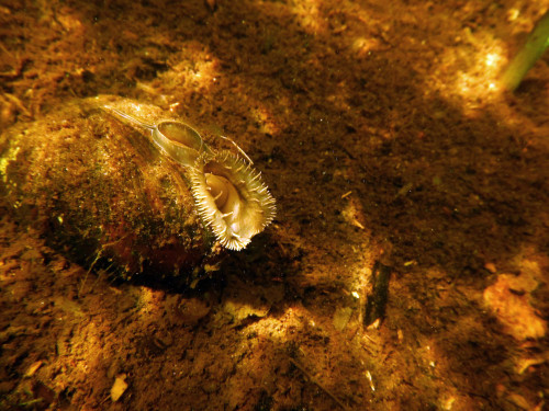 A mussel in the river, photo by Jaden