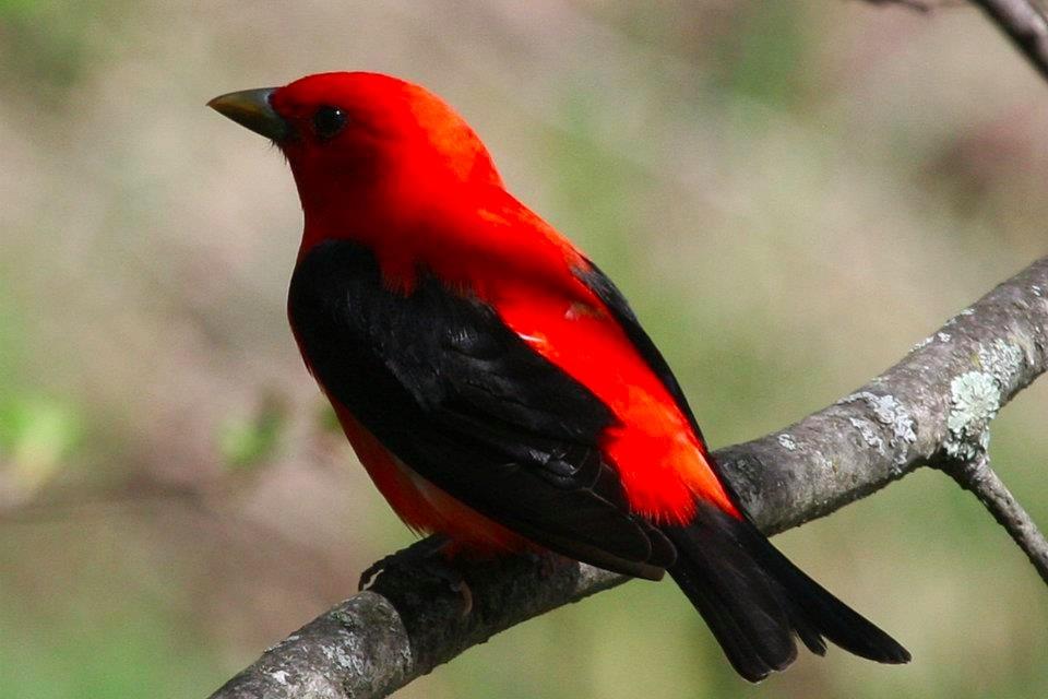 scarlet-tanager-wrsp