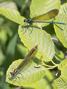 Damselflies on leaves