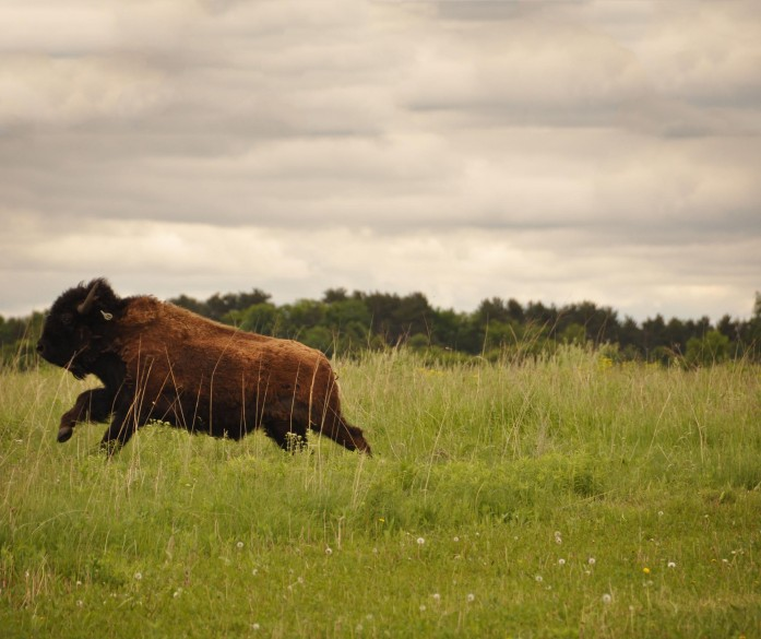 Bison release at Belwin