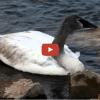 Video Of A St. Croix River Swan With Lead Poisoning Is A Call To Action