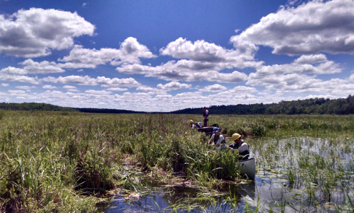 Removing invasive yellow iris on the St. Croix Flowage near Solon Springs, WI (Photo by....)