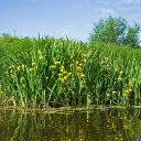 Yellow iris: invasive, increasing, and in bloom right now along the St. Croix River
