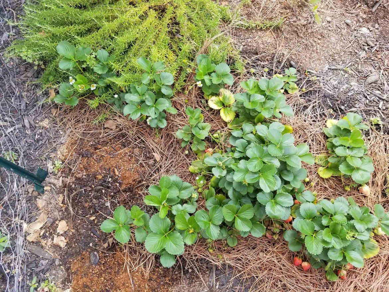 strawberry-plants-stedocli