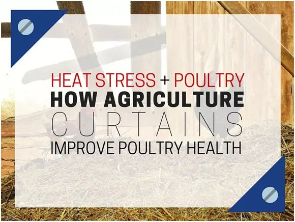heat-stress-and-poultry-how-agriculture-curtains-improve-poultry-health