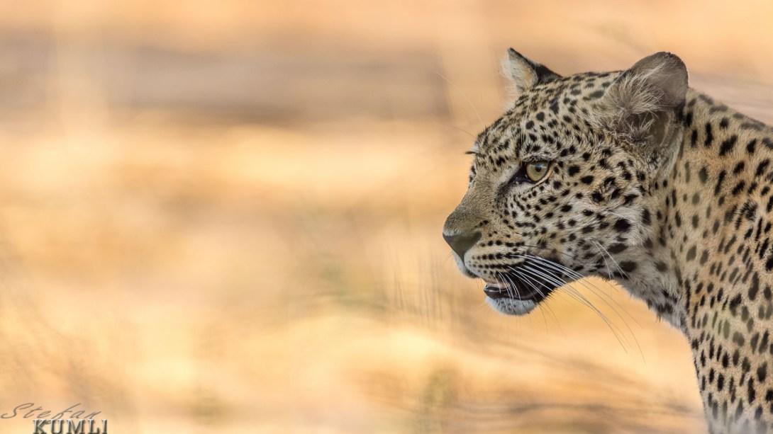 Miss Leopard