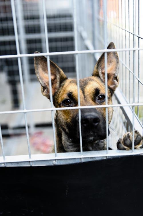 hund-i-bur-rastgard-hundstallet