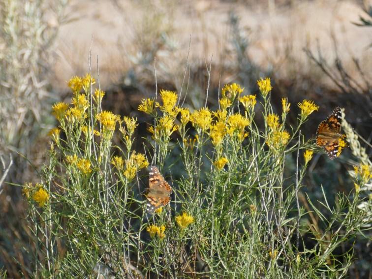 Prairie Flowers im Theodore Roosevelt Nationalpark