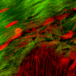 histology of the periosteum showing collagen fibers regenerative cells