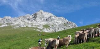 Almauftrieb Felderer Tal, Hochfelder Alm. Foto: Michael Sonnweber