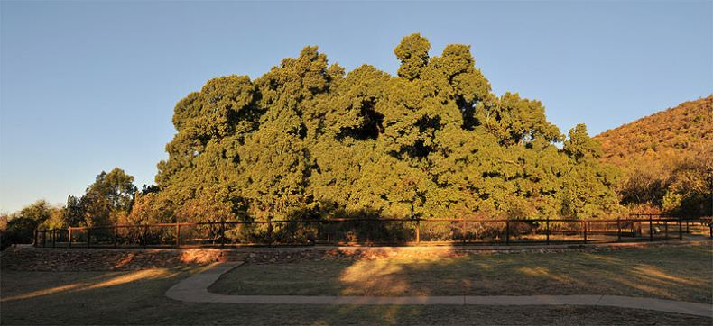 Copacul Wonderboom cei mai mari copaci