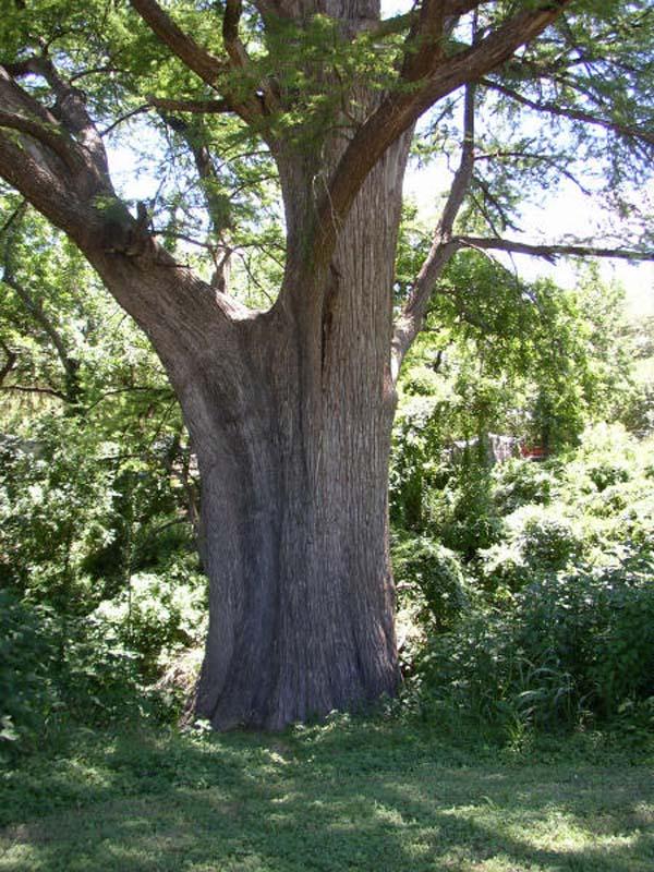 trunchi de copac