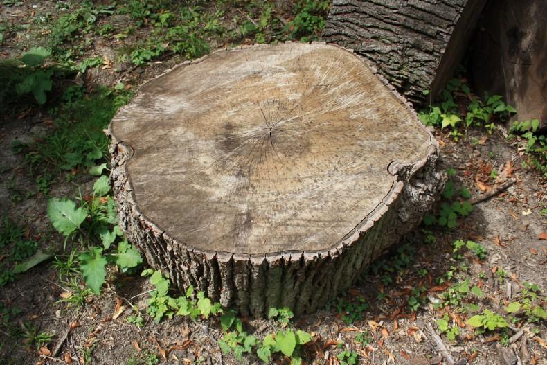 radacina de copac