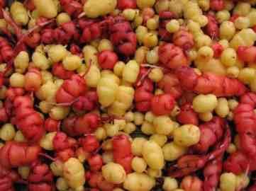 Oxalis tuberosa Bulbi galbeni si rosii