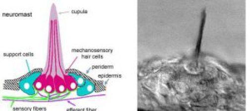 neuromast