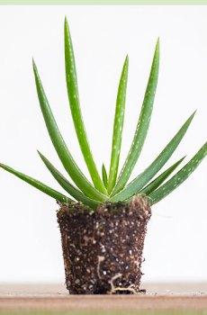 Aloe vera stekje stekken kweken