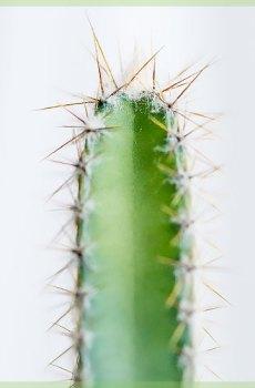 Cactus acanthocereaus tetragonus