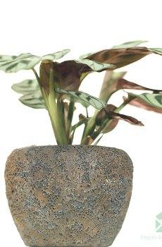 Maranta Leuconeura Amabilis kopen en verzorgen